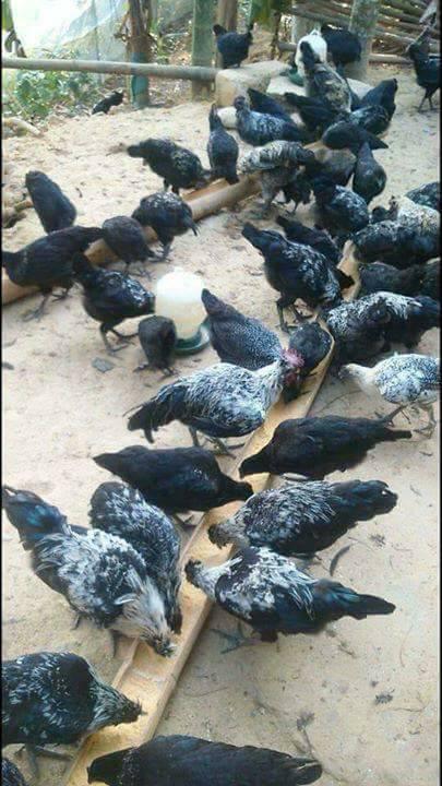 Gà ác bán ở đâu, gà ác đen dùng tẩm bổ