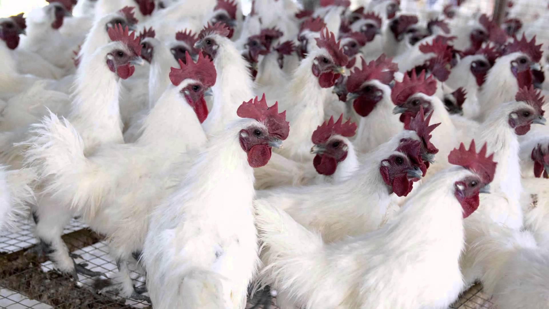 Trại gà ác tại Tiêng Giang, gà ác Lê Huỳnh, Cung cấp gà ác tươi sống