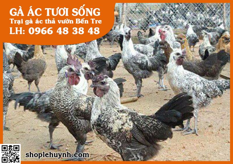 Nhà cung cấp gà ác thịt tại Hà Nội uy tín