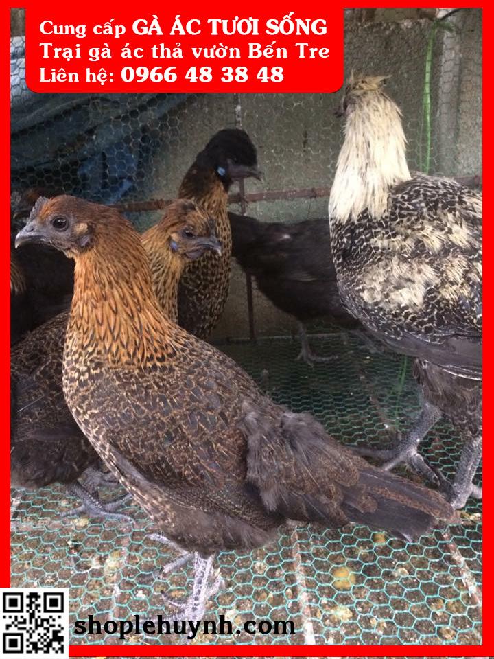 Trại Gà Ác Lê Huỳnh chuyên cung cấp gà ác thương Phẩm